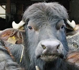 bufflone